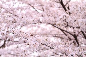 Sakura2010_1