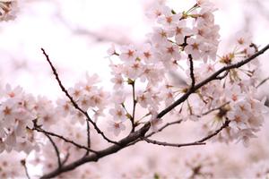 Sakura2010_2